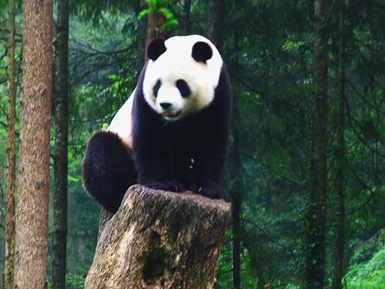 中外科学家采用无线电跟踪等手段,对大熊猫个体生态,种群以及大熊猫主